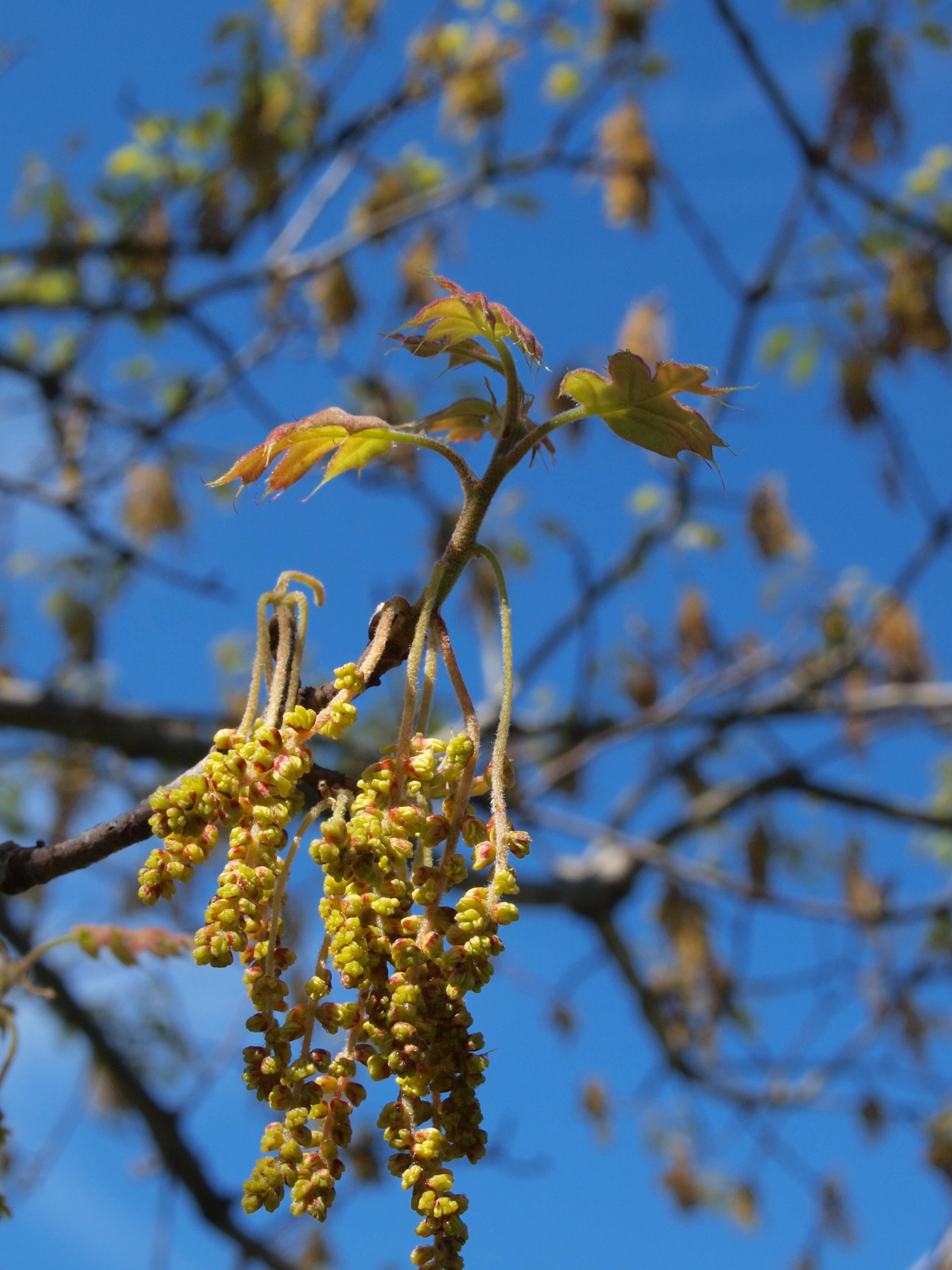 flowering phases i  spring flowering trees